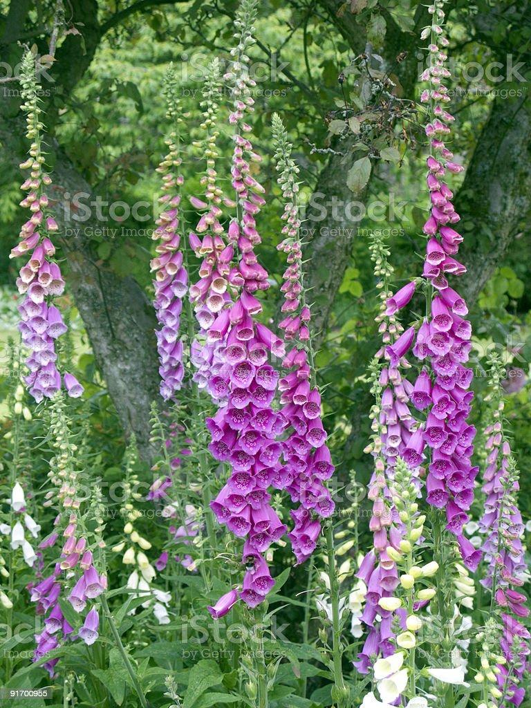 Fingerhut (Digitalis) stock photo