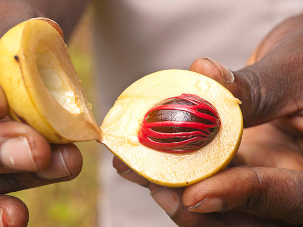 Fingers each hold half of an open Nutmeg with seed showing Fresh nutmeg fruit in open shell, african hands holding a fruit. Zanzibar, Tanzania nutmeg stock pictures, royalty-free photos & images