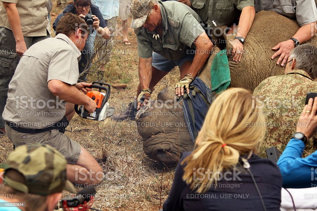 Finishing dehorning of large rhino after been darted stock photo