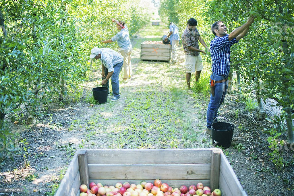 Finishing picking apples in the orchard stock photo