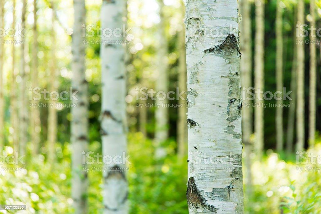 Finnish birch forest stock photo