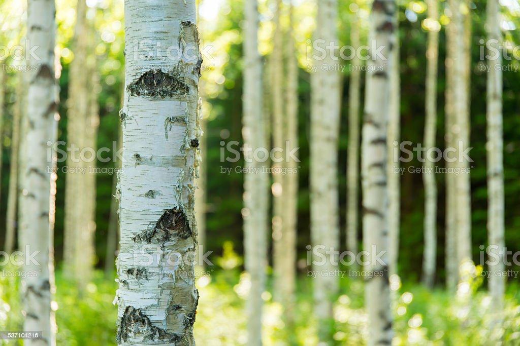 Bosque de abedul de finlandesa foto de stock libre de derechos