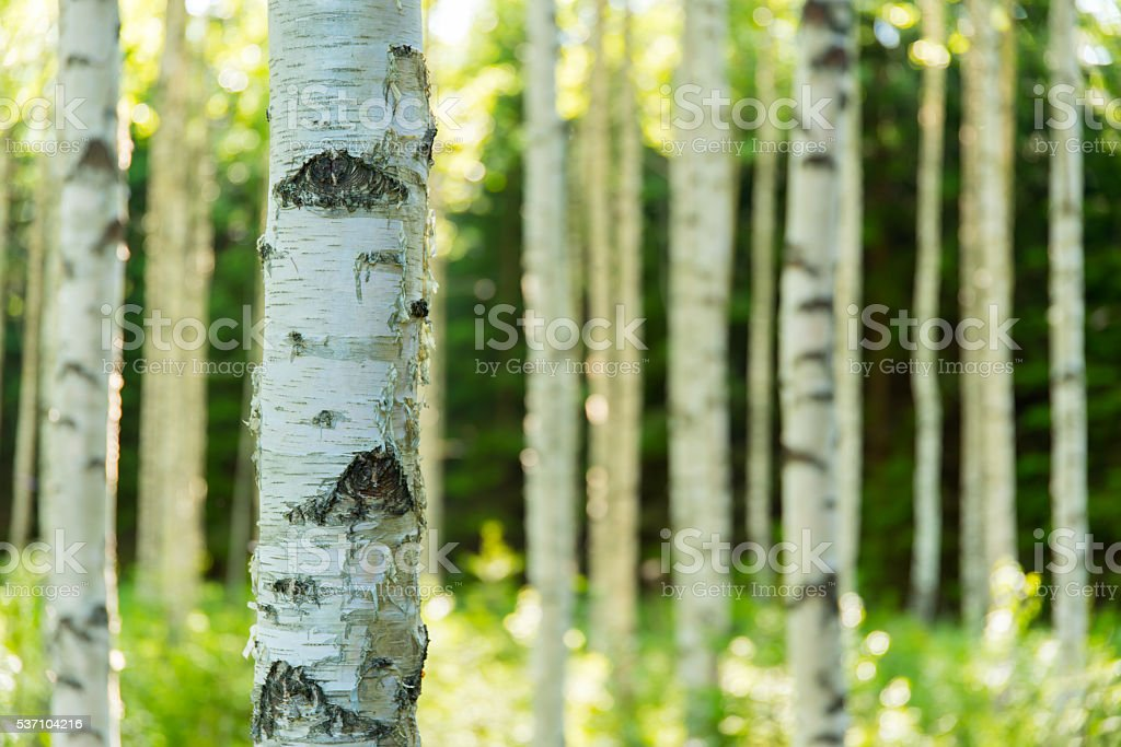 Finnish birch forest stock photo