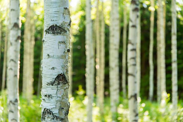 Finnische Birke Wald – Foto