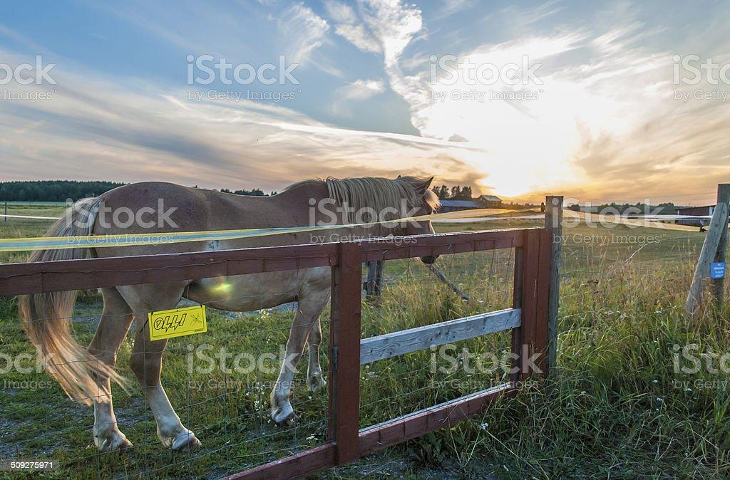 Finnish horse at dusk walking away stock photo