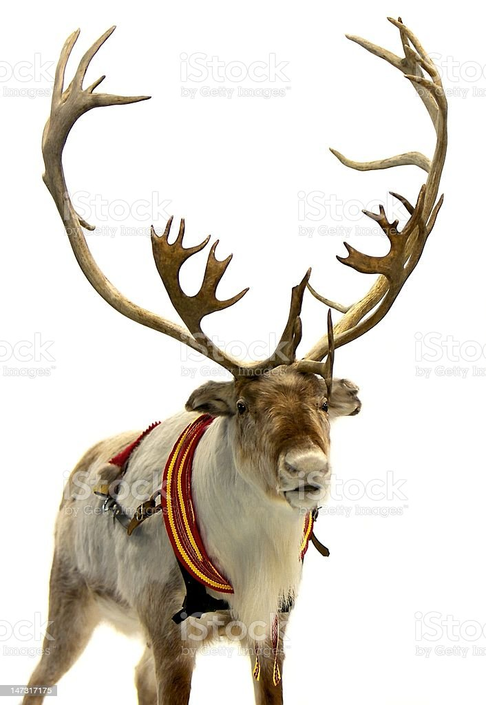 Finnish Reindeer stock photo