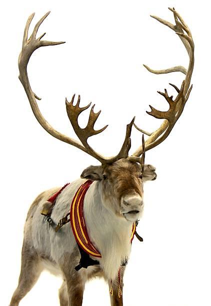 finnish reindeer - rendier stockfoto's en -beelden