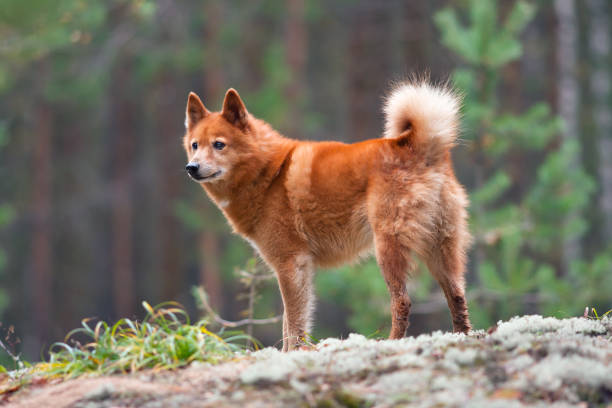 Finnish spitz on the blurred background picture id854358214?b=1&k=6&m=854358214&s=612x612&w=0&h=3x8sbpiyh2mk0kcvuw3aljsdrhxgtlkbvlevmksuszy=