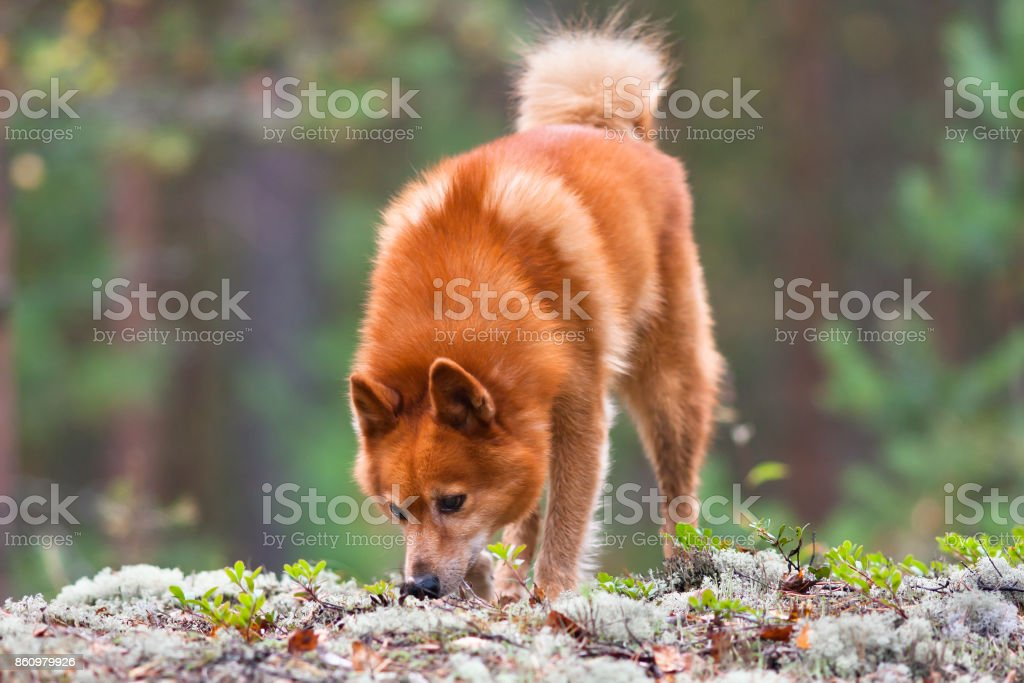 finnish spitz sniffing traces of animals on the ground