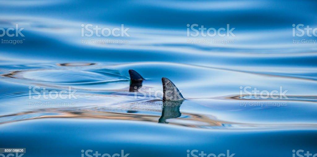 Fins of a Mobula are peeking out of the water. Mexico. Sea of Cortez. California Peninsula. stock photo