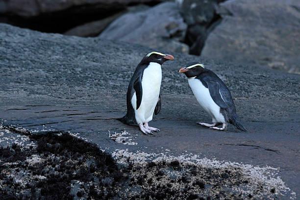 Fiordland Crested Penguin (Eudyptes pachyrhynchus) – Foto