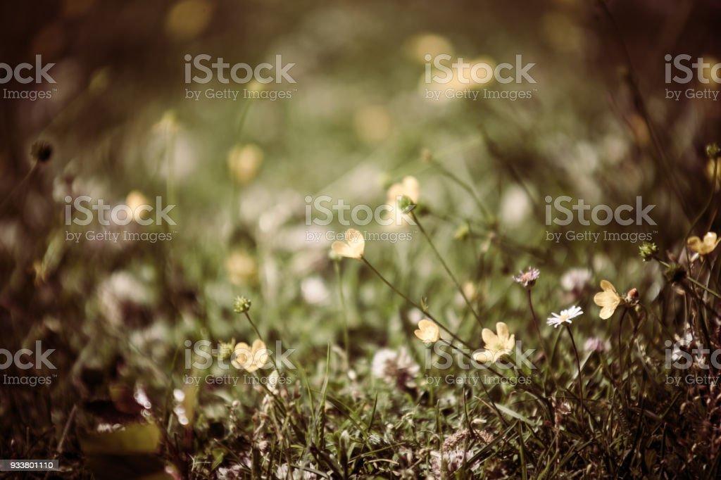Fiori Gialli Montagna.Fiorellini Gialli Fiori Di Montagna Selvatici Stock Photo