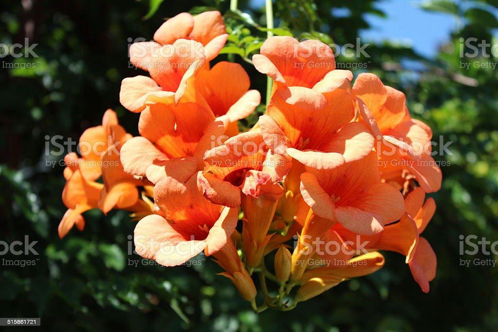 Fiori Arancioni.Fiori Arancioni Stock Photo Download Image Now Istock