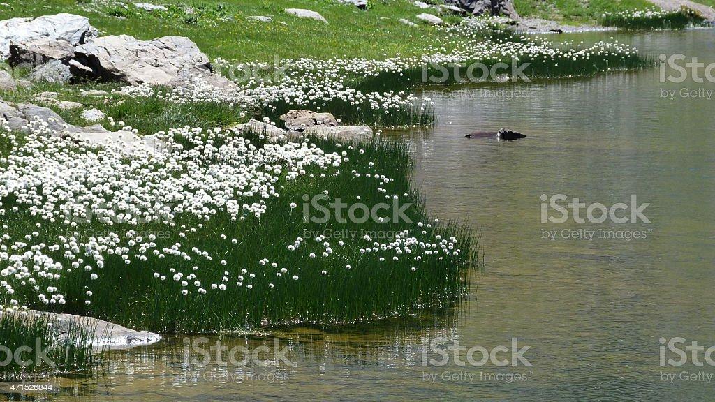 Fiori Bianchi Montagna.Fiori Bianchi In Lago Di Montagna Stock Photo Download Image Now