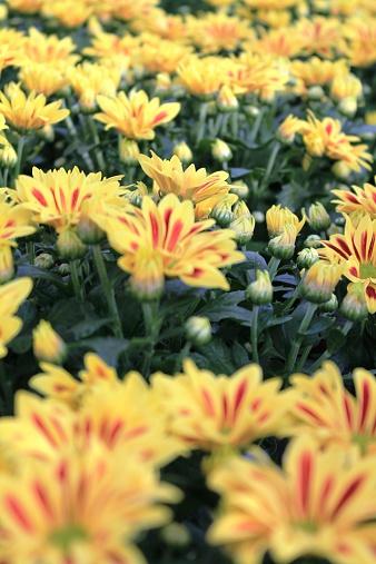 Fiore Giallo 6 Petali.Fiori Con Petali Bicolore Giallo E Rosso Stock Photo Download