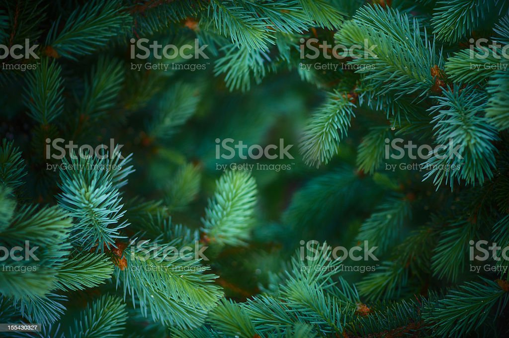 Fir branch background stock photo