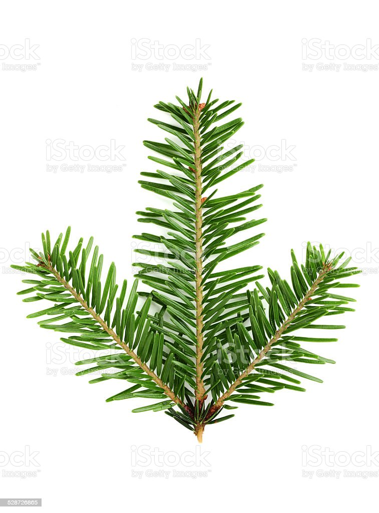 Fir branch close-up. stock photo