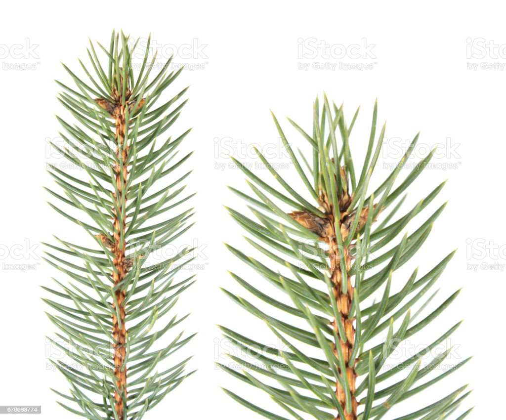 Fir branch isolated on white background. Fir-needle isolated on white stock photo