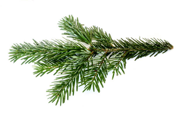 fir branch isolated on white background - pinaceae stock photos and pictures