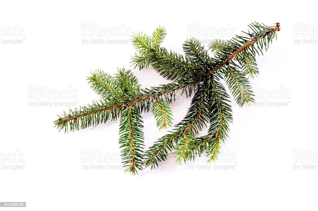 Fir branch, isolated on white stock photo