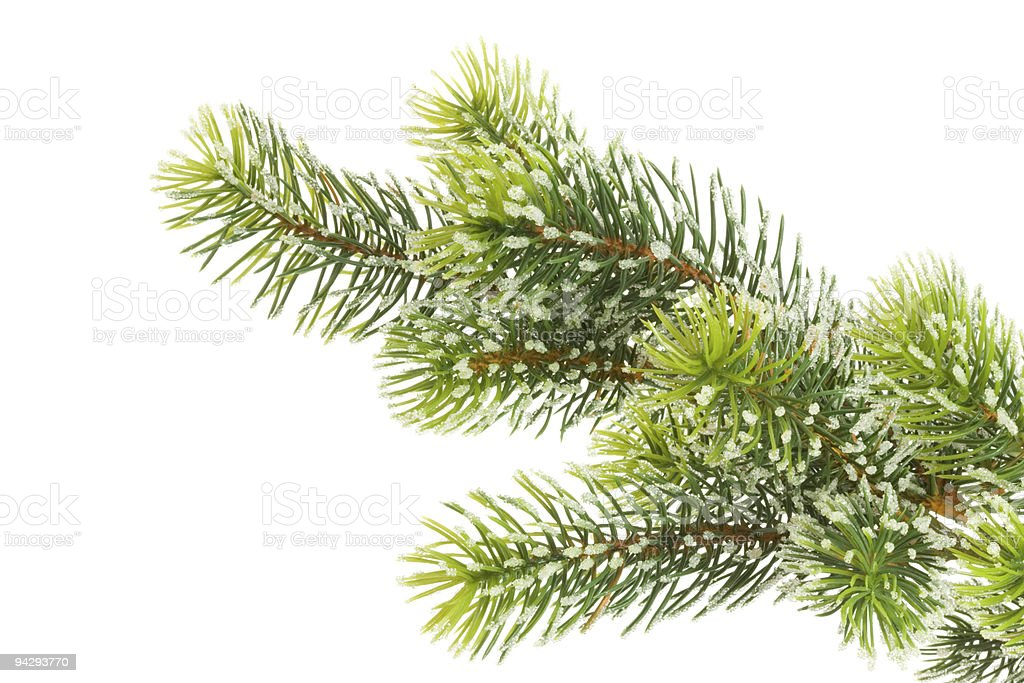Fir branch on white. royalty-free stock photo