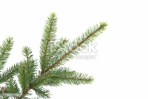a fir branch isolated on white
