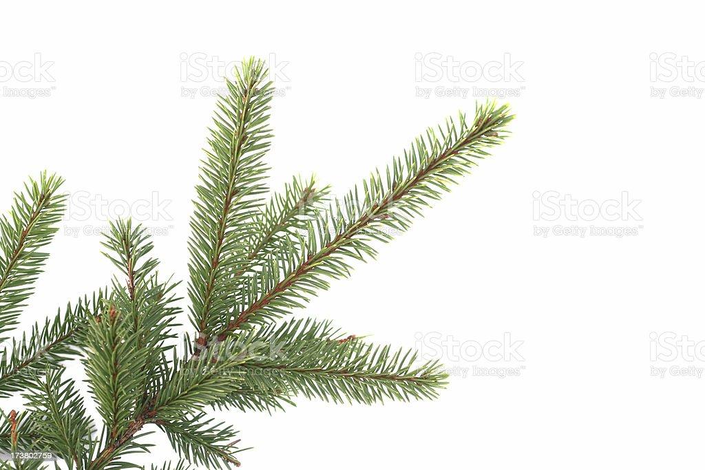 fir branch stock photo