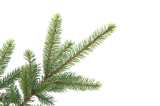 fir branch a fir branch isolated on white fir tree stock pictures, royalty-free photos & images