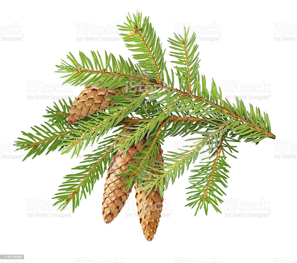 Fir branch with cones isolated on white royalty-free stock photo