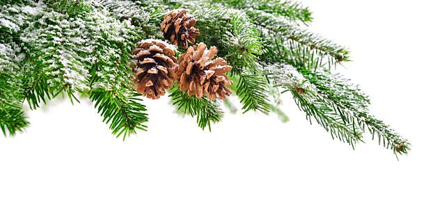 fir branch mit schnee und hütchen - kiefernzapfen stock-fotos und bilder