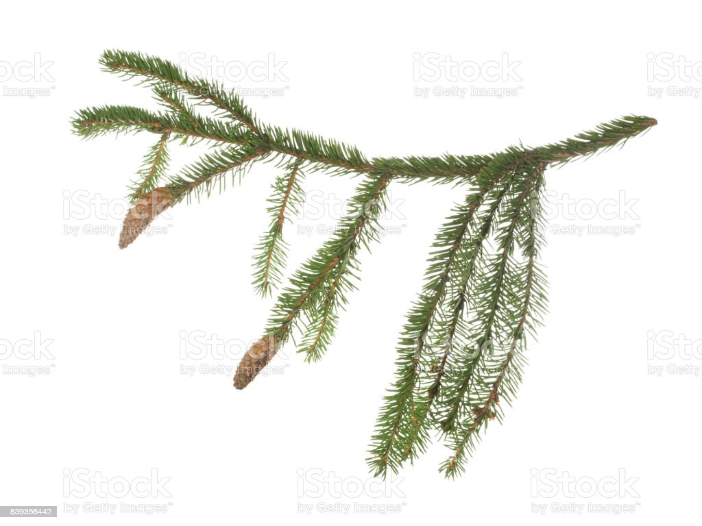 Fir branch with two cones isolated on white background. stock photo