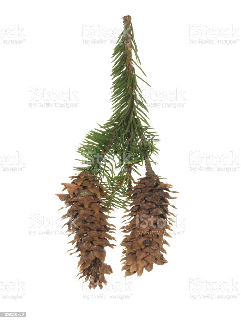 Fir branch with two old cones isolated on white background stock photo