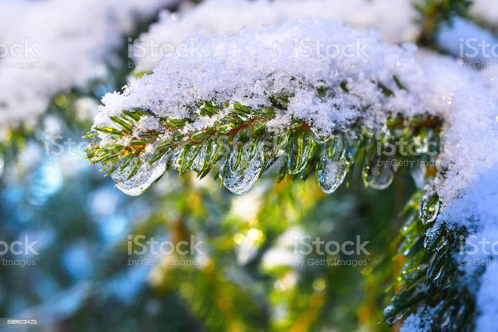 Fir branches covered with fresh snow,  frozen droplets of stock photo