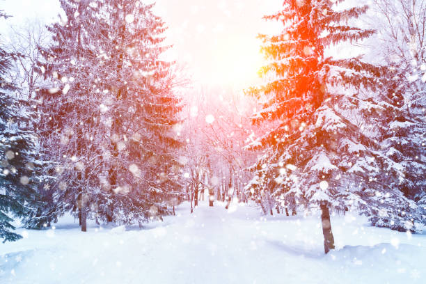 Fir branches covered with snow. stock photo