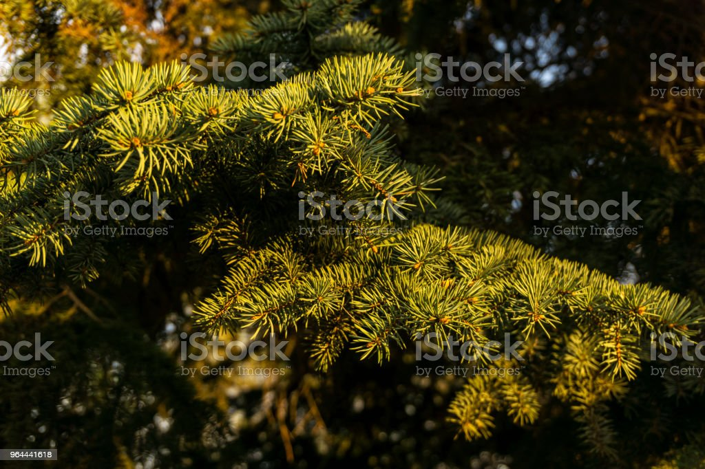 fir branches in the evening light - Royalty-free Bright Stock Photo