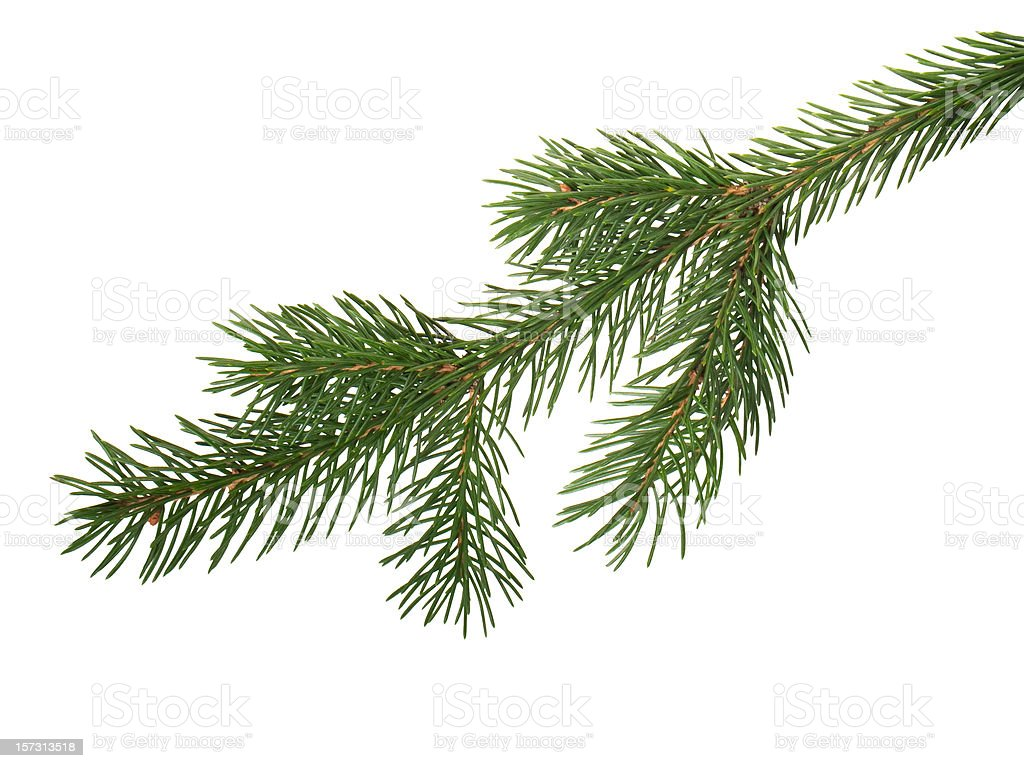 fir branchlet stock photo