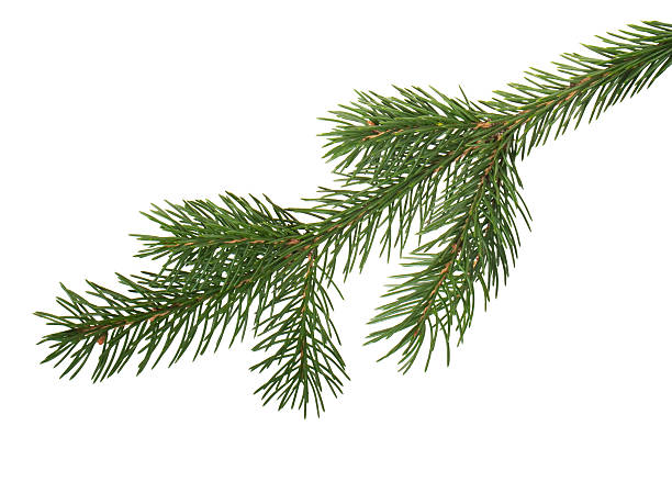 fir branchlet  fir tree stock pictures, royalty-free photos & images