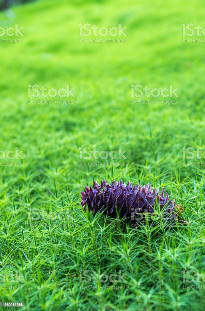 A fir cone on a moss. stock photo