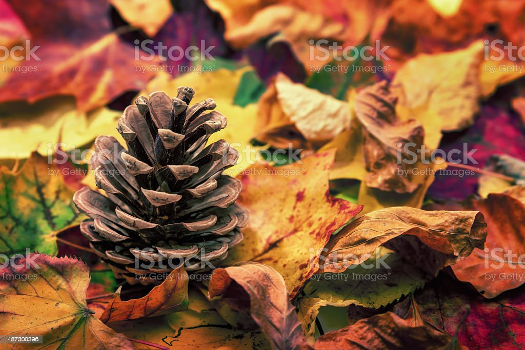 Fir cone on colorful autumn leaves stock photo