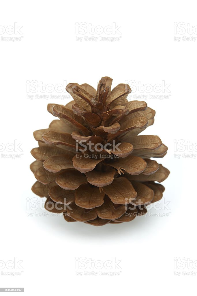 fir cone (1Ds Mark III) royalty-free stock photo