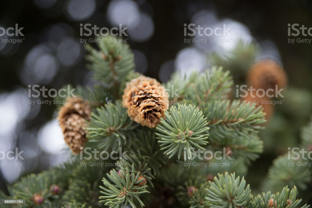 Fir cone foto de stock royalty-free