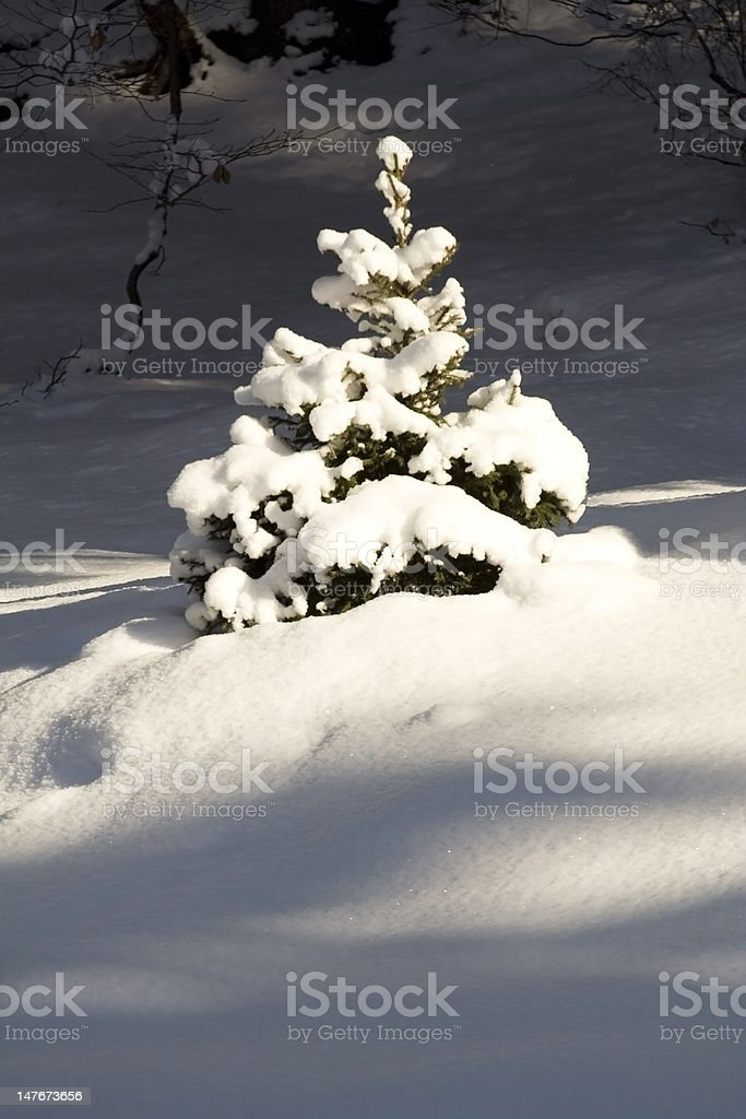 Fir cover by snow stock photo