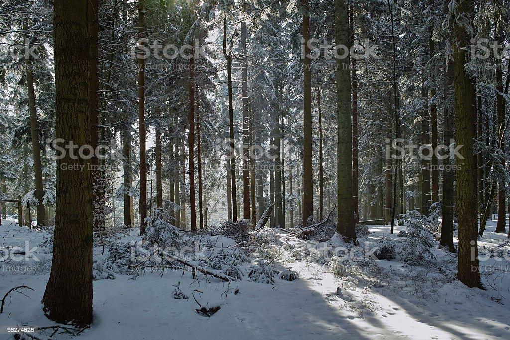 Foresta di abete con sunbeams inverno foto stock royalty-free