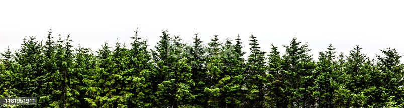 Fir forest panorama isolated on white background banner
