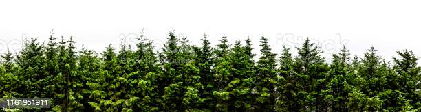Photo of Fir forest panorama isolated on white background