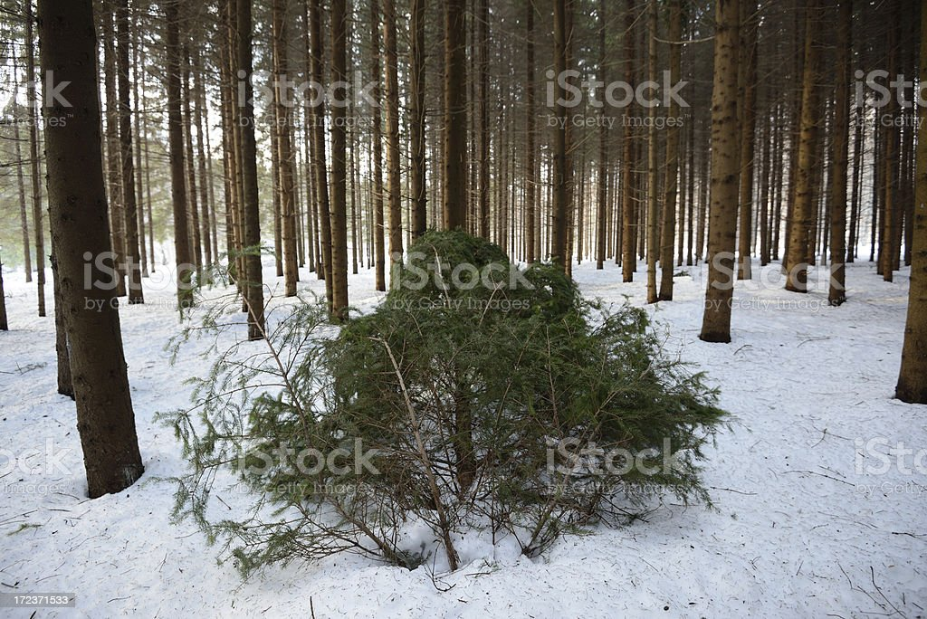 Fir forest royalty-free stock photo