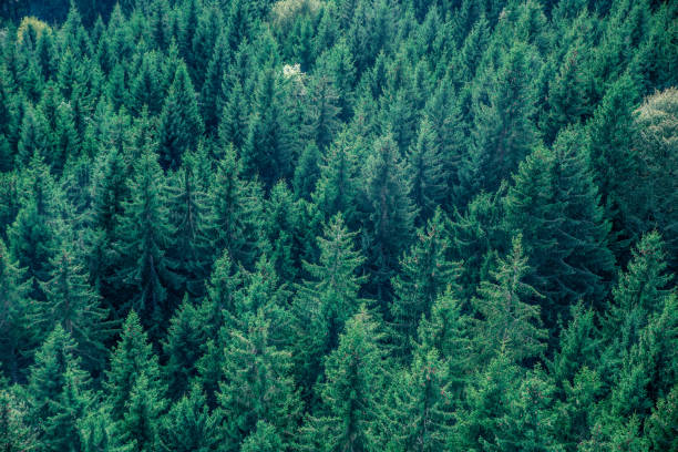 Fir forest view from above - beautiful nature of forest - foto de stock