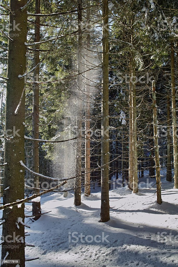 fir forest winter with snow dust in sun royalty-free stock photo