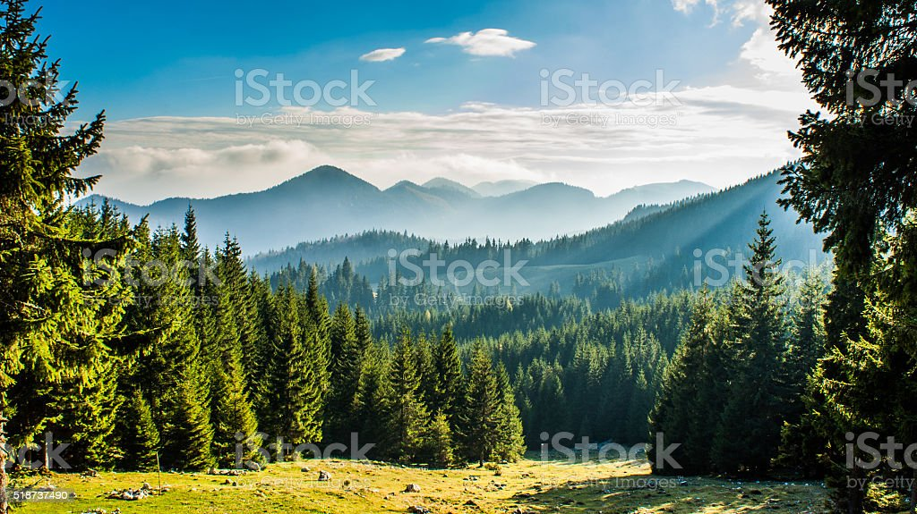 Fir forest with mountain silhouette on the background stock photo