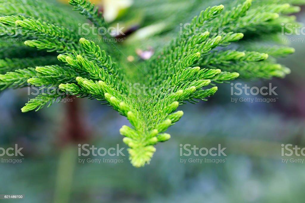 fir leafes macro-détail photo libre de droits